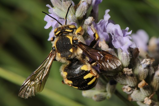 Stock Photo: 4141-58185 Wool Carder Bee Anthidium Florentinum (Male), St. Raphael,  South Of France, July  2009