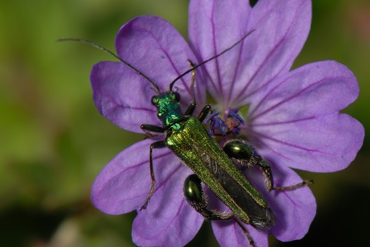 Stock Photo: 4141-58202 Thick-Legged Flower Bee Oedemera Nobilis (Male), Wandle Meadow, London, May 2007