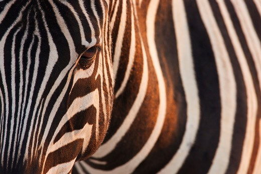 Stock Photo: 4141-58303 Burchells Zebra (Equus Burchelli), Up Close, Etosha, Namibia, August 2010