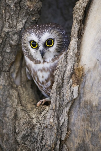 Northern Saw-Whet Owl (Aegolius Acadicus) Peering Out Of A Tree Cavity Near Denver, Colorado, Usa : Stock Photo