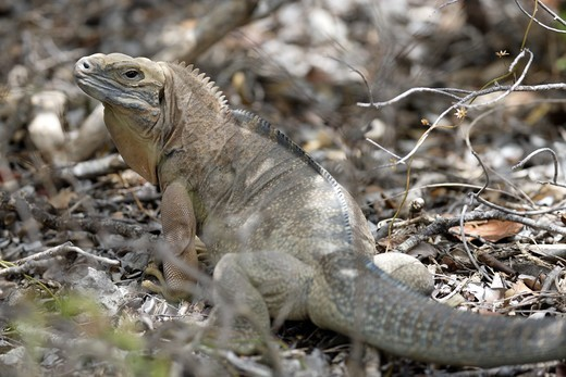 Stock Photo: 4141-58393 Jamaican Iguana (Cyclura Collei) Hellshire Hills, Jamaica. Critically Endangered.