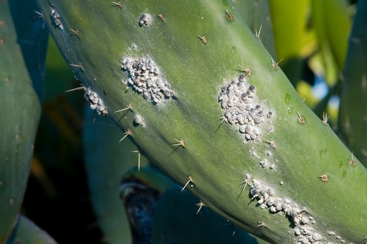 Stock Photo: 4141-58420 Colony Of Cochineals (Dactylopius Coccus) On Opuntia Cactus, La Palma, Canary Islands