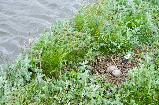 Eurasian Oystercatcher (Haematopus Ostralegus) Nest, Threatened To Be Washed Away By The Rising Tide, Germany : Stock Photo
