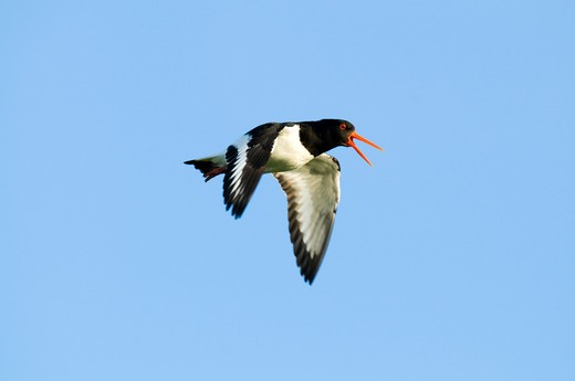 Stock Photo: 4141-58554 Eurasian Oystercatcher (Haematopus Ostralegus) Calling In Flight, Germany