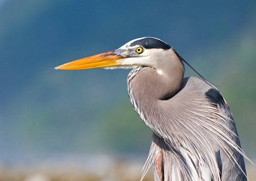 Stock Photo: 4141-58635 Great Blue Heron (Ardea Herodias) Adult, Costa Rica