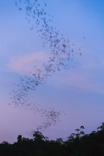 Stock Photo: 4141-58791 Flocks Of Wrinkle-Lipped Bats (Tadarida Plicata) In Flight At Dusk. Khao Yai National Park. Thailand.