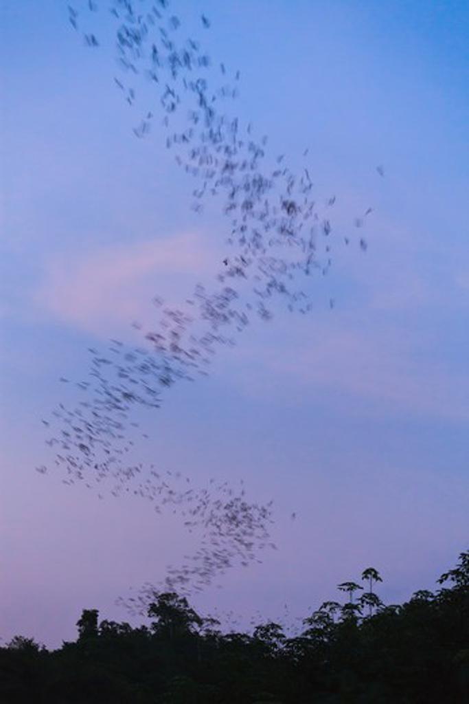 Stock Photo: 4141-58791 Flocks Of Wrinkle-Lipped Bats (Tadarida Plicata) In Flight At Dusk. Khao Yai National Park. Thailand.