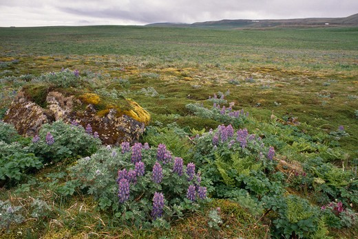 Stock Photo: 4141-5890 lupins and ferns growing on tundra pribilof islands, alaska, usa