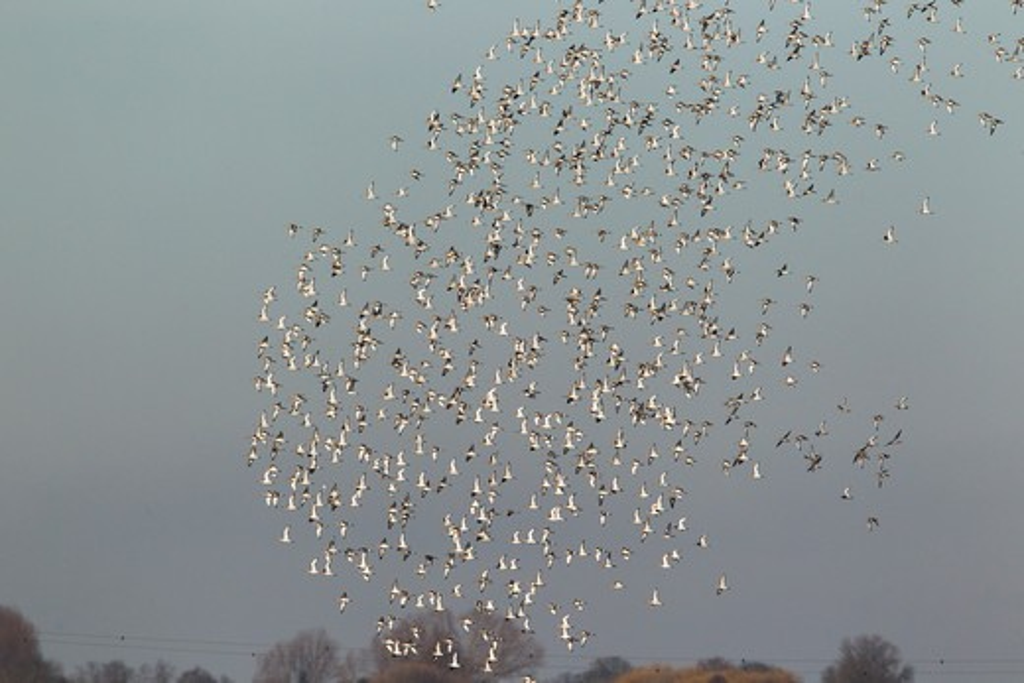 Black-Tailed Godwit - Winter Flock In Flight Over Ouse Washes  Limosa Limosa  Norfolk, Uk : Stock Photo