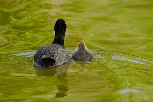 Coot - Parent With Young  Fulica Atra  Two Tree Island Nature Reserve  Essex, Uk : Stock Photo
