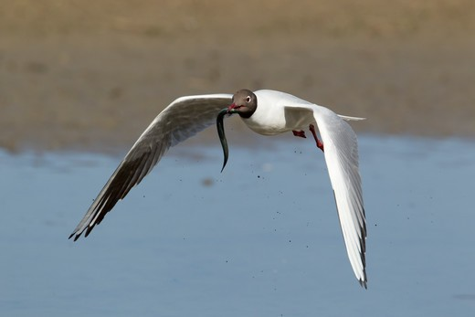 Stock Photo: 4141-58976 Black-Headed Gull - Carrying Sand Eel Stolen From Tern  Larus Ridibundus  Minsmere Rspb Reserve  Suffolk, Uk