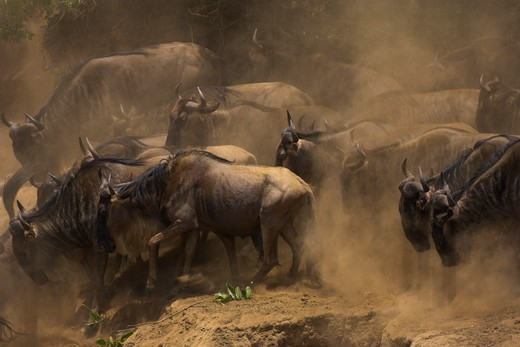 common wildebeest connochaetes taurinus jumping into river during migration masai mara, kenya : Stock Photo