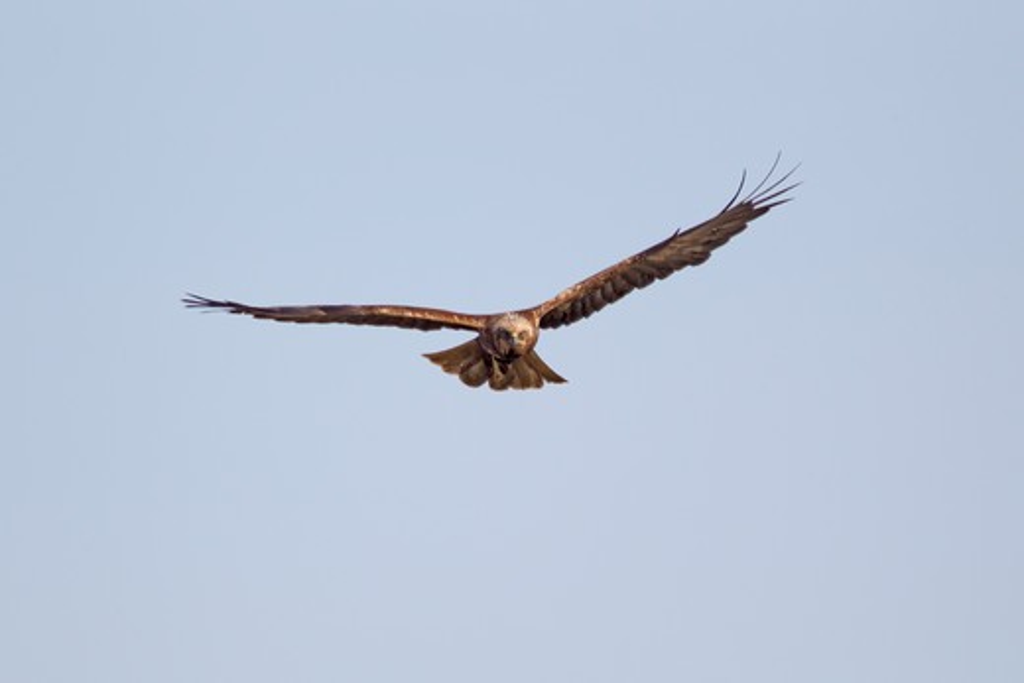 Stock Photo: 4141-59014 Marsh Harrier - Female In Flight  Circus Aeruginosus  Minsmere Rspb Reserve  Suffolk, Uk