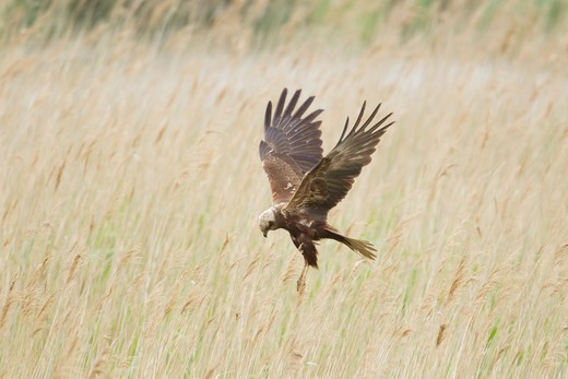 Stock Photo: 4141-59015 Marsh Harrier -  Female Hunting Over Marsh  Circus Aeruginosus  Minsmere Rspb Reserve  Suffolk, Uk