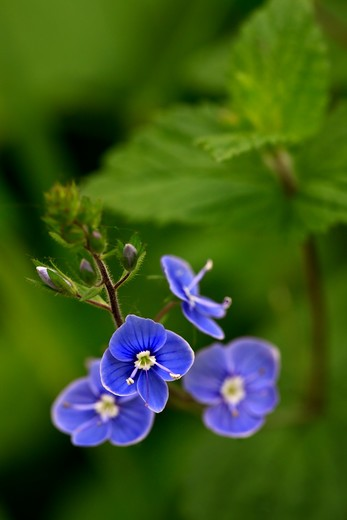 Stock Photo: 4141-59171 Germander Speedwell, County Kerry, Ireland
