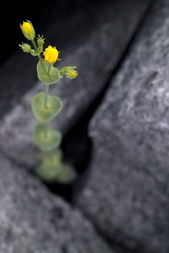 Yellow Wort, County Clare, Ireland : Stock Photo