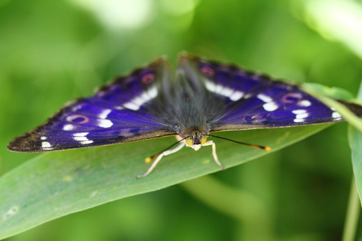 Stock Photo: 4141-59447 Male Lesser Purple Emperor (Apatura Ilia). When The Wings Are Observed From The Right Angle The Purple Iridescent Glow Can Be Seen