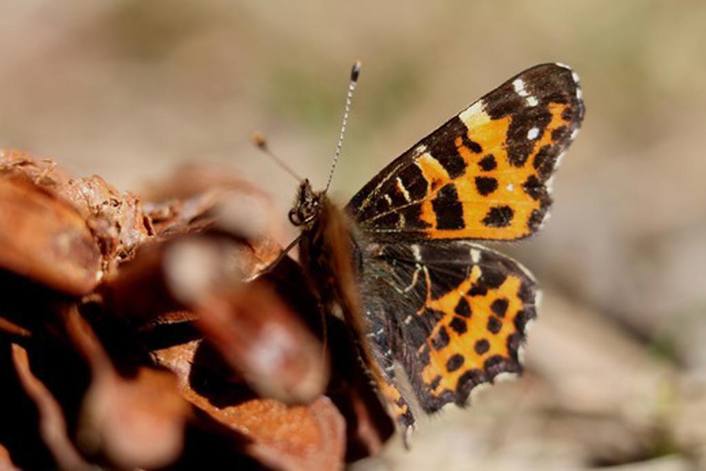 Stock Photo: 4141-59448 Map Butterfly (Araschnia Levana) Form Levana