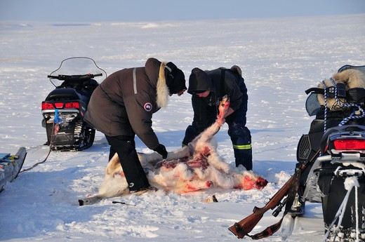 Stock Photo: 4141-59546 Caribou Hunting, Rangifer Tarandus, Queen Maud Gulf, Mainland, Nunavut, Canada,