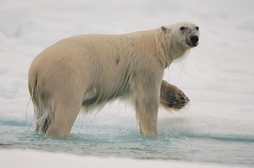 Stock Photo: 4141-59566 Polar Bear, Ursus Maritimus, Lancaster Sound, Baffin Island, Nunavut, Canada