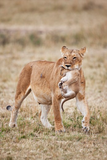 Stock Photo: 4141-59642 Lioness Carrying Cub (Panthera Leo). A Lioness Will Frequently Move Young Cubs In Order To Prevent An Accumulation Of Scent. This Is To Protect Them From Predators Such As Hyenas Or Even Other Male Lions. Masai Mara National Reserve. Kenya