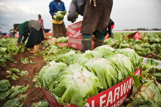 Stock Photo: 4141-59649 Farm Workers Picking And Collecting Iceberg Lettuce (Lactuca Sativa) For Market. Kenya