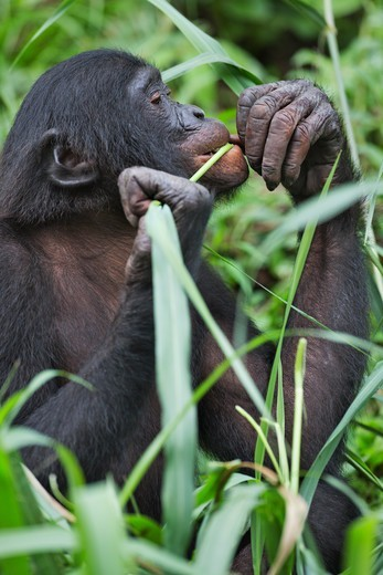 Bonobo/Pygmy Chimpanzee (Pan Paniscus) Feeding, Sanctuary Lola Ya Bonobo Chimpanzee, Democratic Republic Of The Congo. Captive : Stock Photo