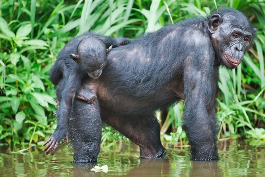 Stock Photo: 4141-59694 Bonobo/Pygmy Chimpanzee (Pan Paniscus) Mother With Young On Back In Water, Sanctuary Lola Ya Bonobo Chimpanzee, Democratic Republic Of The Congo. Captive