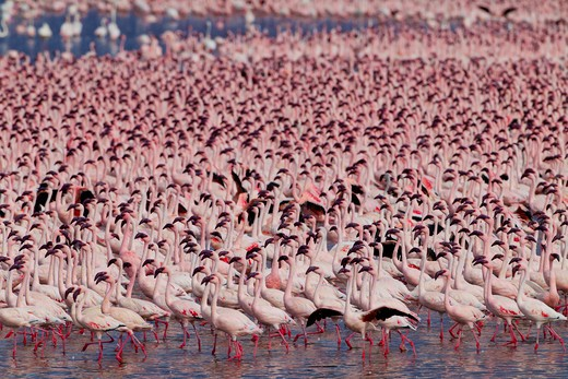 Lesser Flamingo (Phoenicopterus Minor ) At Lake Bogoria That Lies In A Volcanic Region South Of Lake Baringo. Rift Valley. Kenya. : Stock Photo