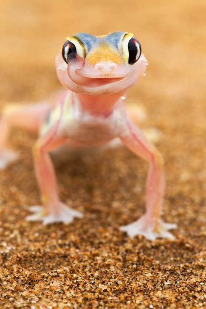 Stock Photo: 4141-59775 Web-Footed Gecko (Palmatogecko Rangei) Licking Eye, Dist. Namib Desert, Namibia. Namib-Naukluft N.P, Namibia