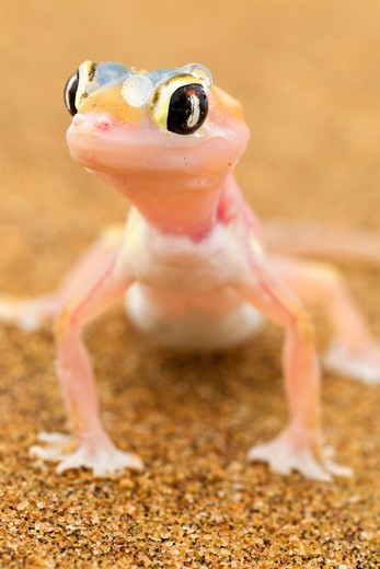 Stock Photo: 4141-59776 Web-Footed Gecko (Palmatogecko Rangei) Dist. Namib Desert, Namibia. Namib-Naukluft N.P, Namibia