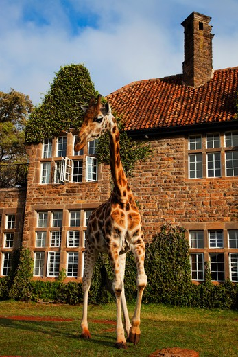 Rothschild Giraffe (Giraffa Camelopardalis Rothschildi) Griaffe Manor Kenya. Dist. East Africa. : Stock Photo