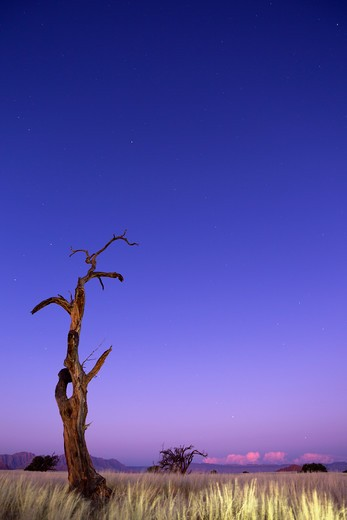 Stock Photo: 4141-59802 Thorn Tree At Sunset. Scenery Showing The Unique Ecology Of The South-West Namib Desert Or Pro-Namib. Namibrand Nature Reserve, Namibia