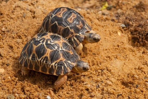 Radiated Tortoises Astrochelys (Geochelone) Radiata. Carapace Or Shells, Showing Growth And Radiation Markings On Each Scute Of Second Year Animals. : Stock Photo