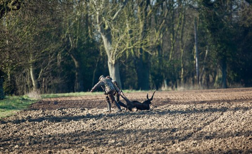 Professional Deer Cullers, Removing Just Shot Red Deer Hind (Cervus Elaphus) From Arable Field, Ingham, Norfolk. License Granted To Shoot Hinds During Close Season (March), In Order To Reduce Escalating Deer Population In Norfolk. : Stock Photo