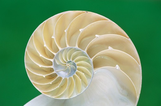 Stock Photo: 4141-6019 chambered or pearly nautilus nautilus pompilus cross section through shell