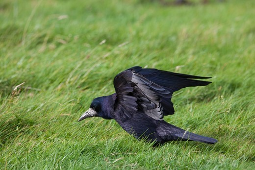 Rook (Corvus  Frugilegus). Wing Stretching Prior To Excreting, Revealing Undersides Of Wing Showing Underwing Coverts, Secondaries And Primary Flight Feathers. : Stock Photo