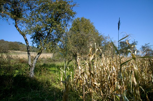 Stock Photo: 4141-60469 Peasant Agriculture With Maize And Apples, Saxon Part Of Transylvania, Romania