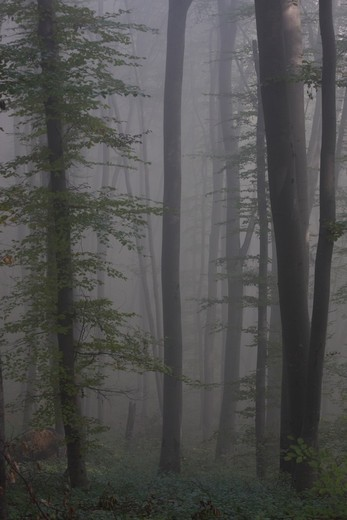 Stock Photo: 4141-60504 Ancient Beech Woodland (Fagus Sylvaticus) In Mist, Significant Wood Pasture, In Saxon Part Of Transylvania