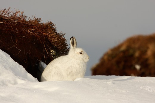 Stock Photo: 4141-60546 Mountain Hare (Lepus Timidus), In Winter Coat, Sat In Snow, Strathdearn, Inverness-Shire, Highland, Scotland, Uk.  February 2010.