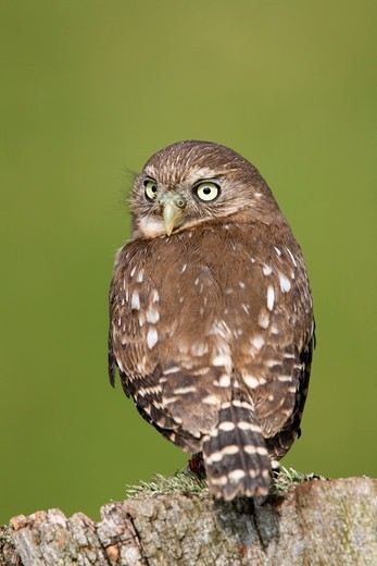 Stock Photo: 4141-60577 Ferruginous Pygmy Owl, Glaucidium Brasilianum
