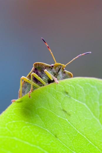 Stock Photo: 4141-60613 Common Shield Bug, Palomena Prasina, On A Leaf
