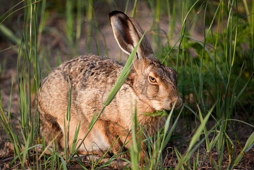 Stock Photo: 4141-60620 Brown Hare, Lepus Capensis, Eating In A Field