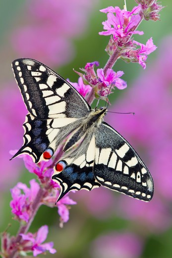 Stock Photo: 4141-60700 Swallowtail Butterfly; Papilio Machaon Ssp Britannicus; Captive On Purple Loosestrife