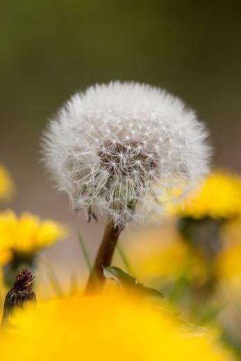 Stock Photo: 4141-60756 Dandelion Seed Head - Uk