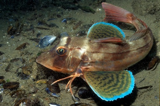 Stock Photo: 4141-61279 Tub Gurnard (Chelidonichthys Lucernus), Gower, South Wales, Uk