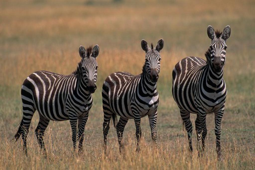 Stock Photo: 4141-6130 plains or burchell's zebra equus burchelli group of three, standing masai mara national reserve, kenya