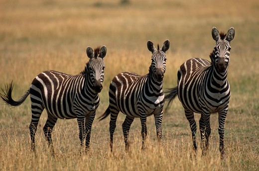 burchell's or plains zebra equus burchelli three on savanna masai mara national reserve, kenya : Stock Photo