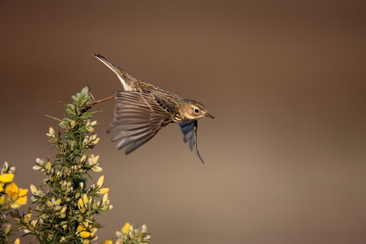 Stock Photo: 4141-61320 Meadow Pipit, Anthus Pratensis, Flight, North Yorkshire, Spring