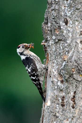 Stock Photo: 4141-61401 Lesser-Spotted Woodpecker, Dendrocopos Minor, Single Male At Nest Entrance, Bulgaria, May 2010